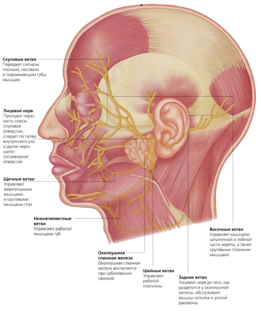 лицевые нервы